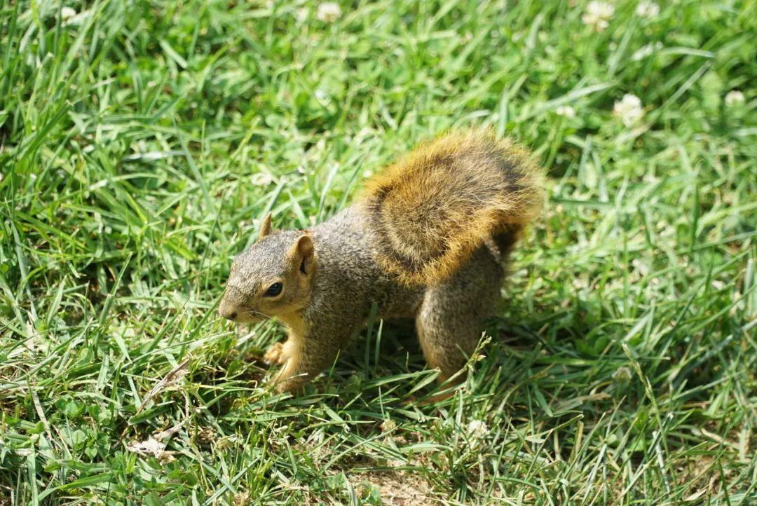 """小浣熊、火鸡、美洲狮……盘点美国大学校园里最常出现的动物们-美国大学不会是""""动物园""""吧?!"""