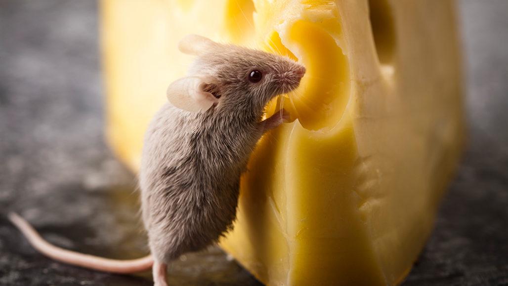 老鼠嗅觉可以被控制,闻到周围没有的气味?-2020年8月SAT阅读真题背景知识