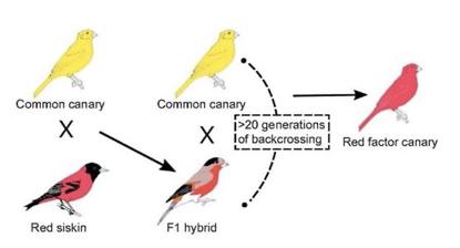 "SAT阅读自然科学类文章背景知识:让""金""丝雀变成""红""丝雀的,是什么基因?"